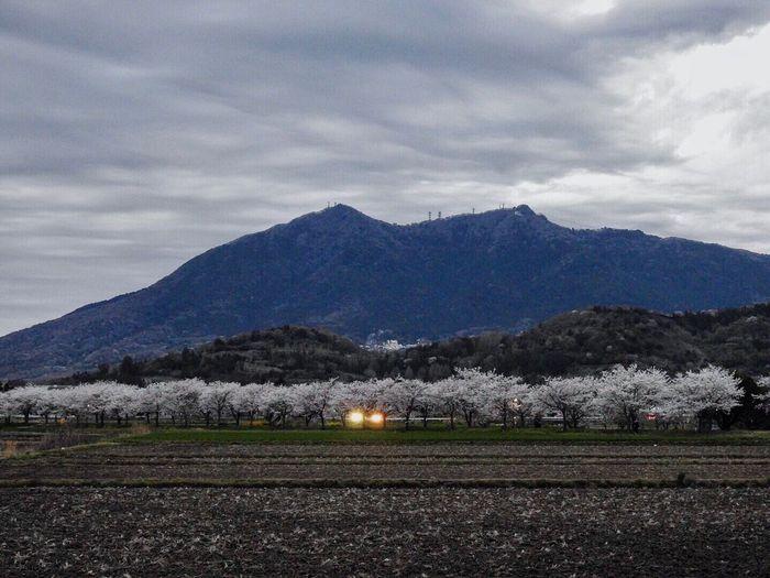 山裾の桜並木からの筑波山 黄昏のサイクリングロード(廃線の筑波鉄道跡地)の桜並木から筑波山を撮影‥‥‥
