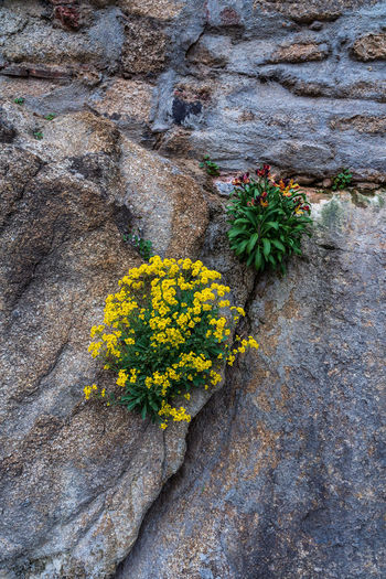Colorful flowers on the wall Plant Flower Flowering Plant Yellow Growth Freshness Vulnerability  Beauty In Nature Fragility No People Nature Close-up Rock Day Rock - Object Solid Inflorescence Flower Head Outdoors High Angle View Lichen