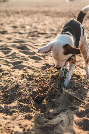 First time on a beach One Animal Mammal Domestic Animals Dog Canine Domestic Pets Vertebrate Beach Seaside Playing Dogs Puppy Ears Happy Jumping Looking At Camera Animal Themes Animal Land Sand Nature Sunlight No People Day Looking Focus On Foreground Outdoors Jack Russell Terrier