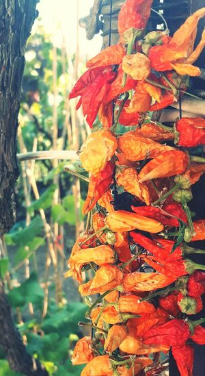 Spices Nature Outdoors Food Photography Garden Red Color Green Color Cousine  Spicesworld RedChiliPeper Dried Plant Dried Fruit Small Business Heroes