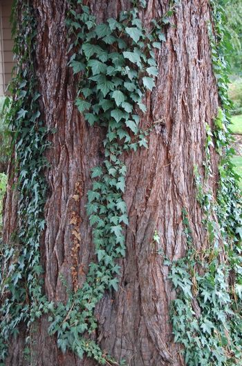 Bark Beauty In Nature Botany Brown Close-up Creeper Plant Green Growing Growth Nature No People Plant Plant Bark Tree Tree Trunk