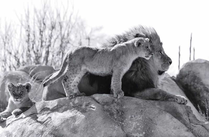 Lion With Cubs Relaxing On Rock Against Sky