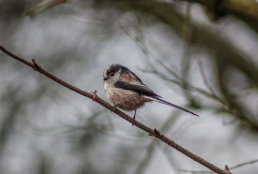 Animal Themes Animal Wildlife Animals In The Wild Bare Tree Bird Branch Close-up Day Focus On Foreground Long Tailed British Bird Nature No People One Animal Outdoors Perching