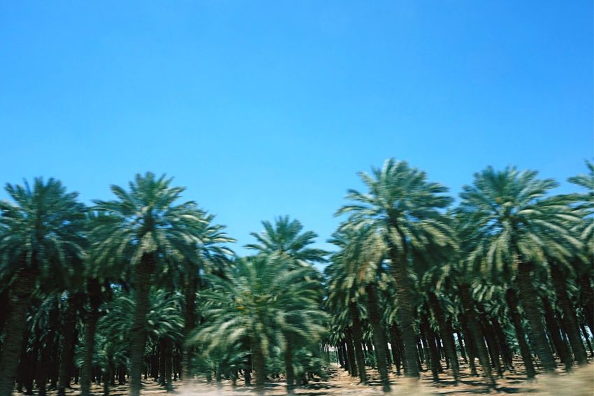 The Great Outdoors - 2016 EyeEm Awards Palm Tree Palm Palm Trees Clear Sky Tree Blue Growth Tranquility Nature Beauty In Nature Day Tranquil Scene Tall - High Sky Outdoors Tree Trunk Idyllic Green Sunny Low Angle View Wind Sand Growing Better Oasis