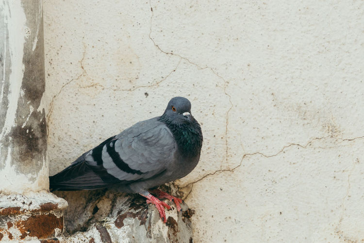 Close-up of pigeon perching on wall