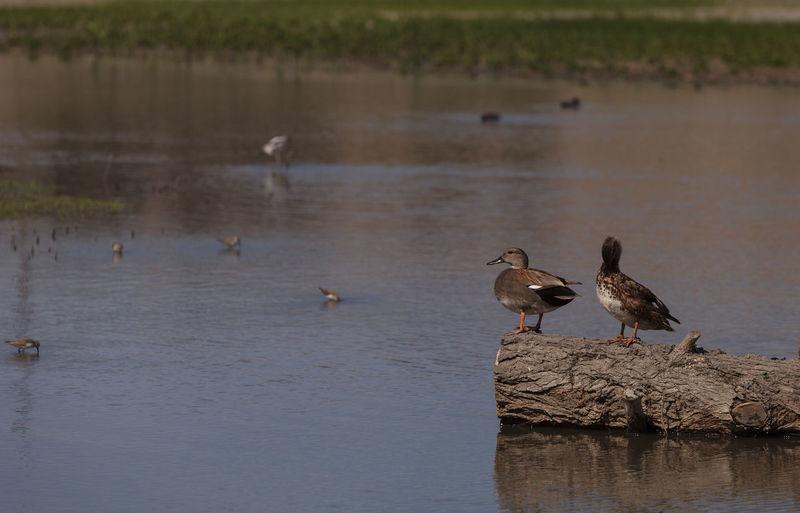 Ducks perching on fallen tree in lake