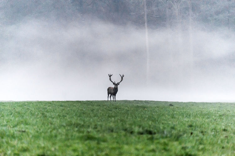 Deer standing in front of a wall of fog Deer Wildlife & Nature Wildlife Photography Animal Themes Beauty In Nature Field Fog Forest Grass Landscape Mammal Nature No People One Animal Outdoors Wildlife Wildlifephotography