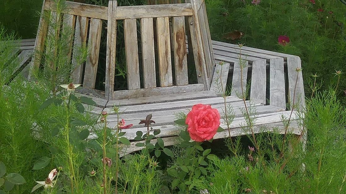 Stand alone Outdoors Growth Day Plant Front Or Back Yard Grass Flower High Angle View Green Color No People Nature Beauty In Nature Flower Head Fragility Grassy Nature_collection Roses Are Red Roses_collection Stand Alone Beauty Benches_Of_The_World_Unite