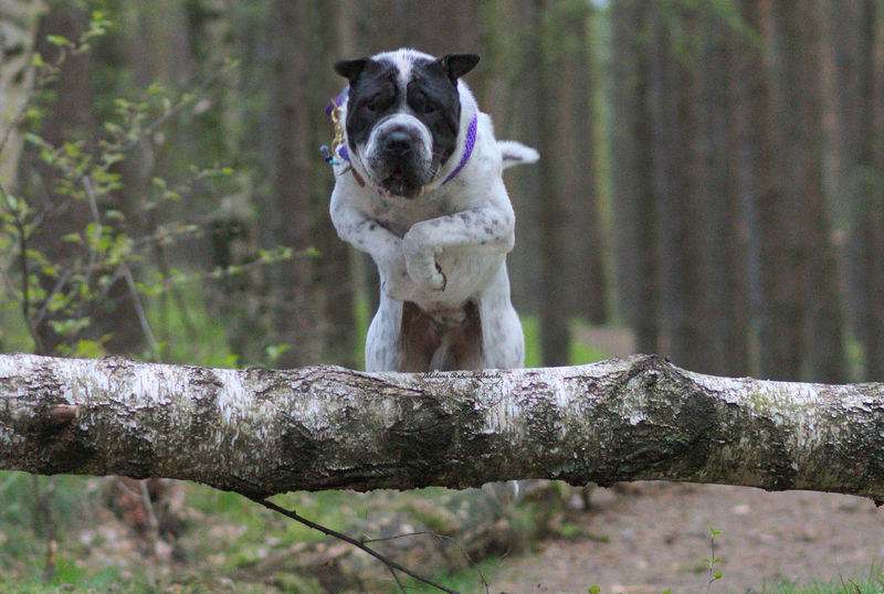 Dog Pets Looking At Camera Portrait Day No People Nature Tree Forest Wald Celle Celle, Niedersachsen Happiness Outdoors Jumping Jump Sprung Springen Animal Themes Dog Photography Hundefotografie Shar Pei