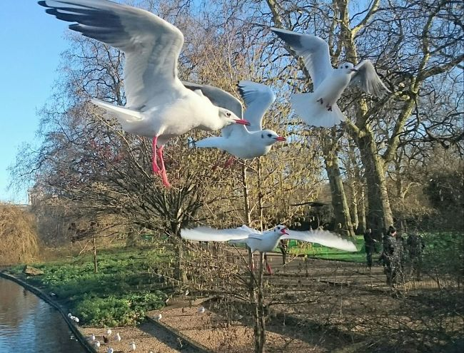 Seagulls Taking Photos Cheese! SEAGULL IN FLIGHT St James Park London  Birds🐦⛅ Bird Photography The Tourist Mission The Tourist Animals Posing Capturing Movement Animal Themes Photography In Motion Nature Diversities Feel The Journey