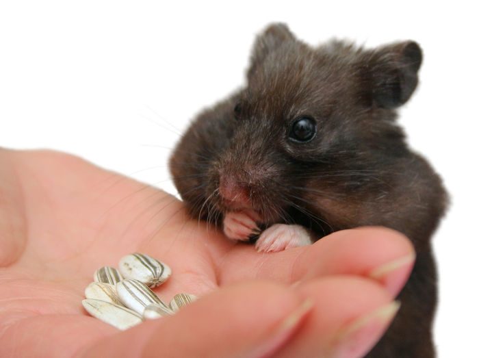 Close-Up Of Hand Feeding Hamster