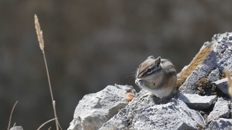 EyeEm Selects A sometimes vicious Red-tailed Chipmunk, best not approached whilst they feed. One Animal Animals In The Wild Animal Wildlife Chipmunk Chipmunk Photography Mammal Rodent Rufous Animal Themes Cute Cheeky Dining Out