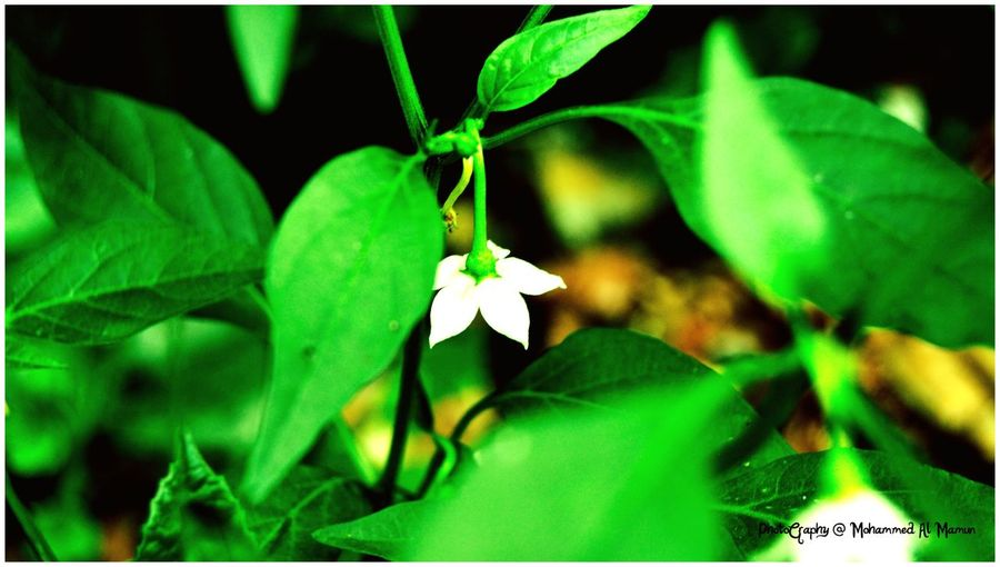 Green chili flower Leaf Green Color Growth Nature Flower Insect Plant Fragility One Animal No People Close-up Beauty In Nature Day Outdoors Animal Themes Freshness Flower Head Green Chili Flower Nature