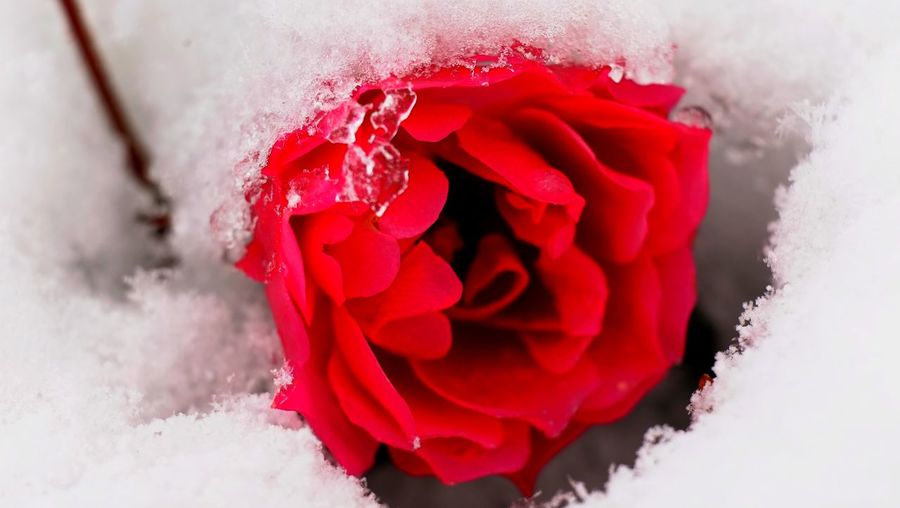 Beauty In Nature Close-up Day Flower Flower Head Fragility Freshness Nature Outdoors Red Roses Roses Under Snow Snow Winter Shades Of Winter The Still Life Photographer - 2018 EyeEm Awards