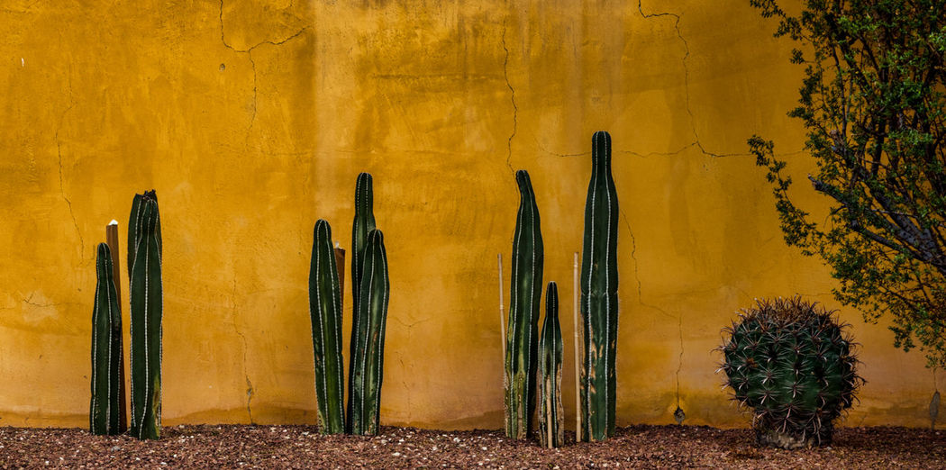 Cacti planted along a yellow wall