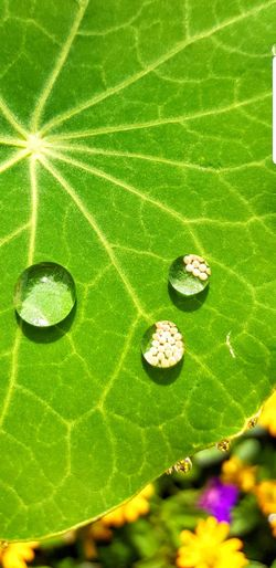 Close-up Nature Beauty In Nature Fragility Leaf Green Color Butterfly EggsFrom My Point Of View Macro Flower Droplets, Water Droplets, Flowers