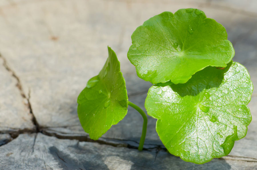Pennywort born on the old wooden texture Pennywort Green Color Green Green Leaves Green Leaf Beautiful Nature Nature Foodphotography Garden Garden Photography Born To Be Wild Weather Old Tree Texture And Surfaces Background Texture Textured  Drops Of Water