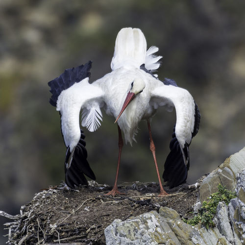 Stork perching on rock