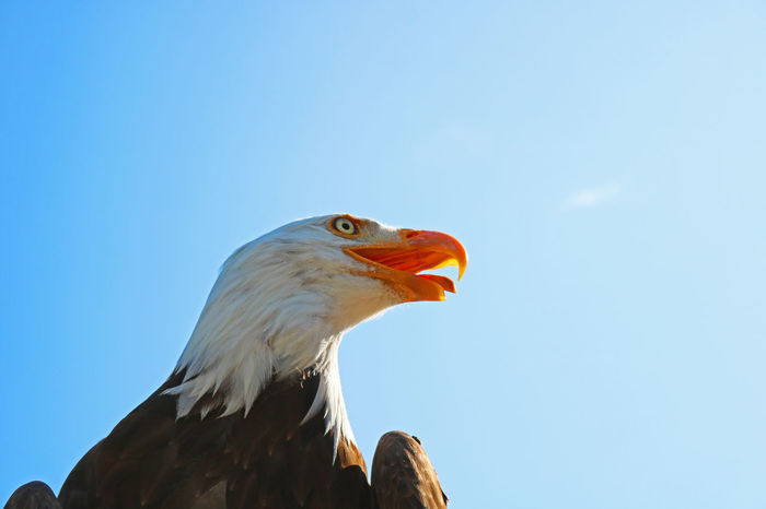 EyeEm Nature Lover EyeEmNewHere Wildlife & Nature Animal Themes Animal Wildlife Animals In The Wild Bald Eagle Bird Bird Of Prey Canon 750d Clear Sky Close-up Low Angle View Myownphotography Nature No People One Animal Sky Perspectives On Nature Postcode Postcards Rethink Things Be. Ready.