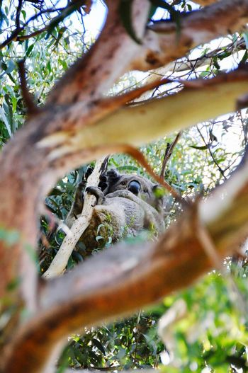 Greatoceanroad Australia Victoria Happy Sleepy Starring Forest Alone Cute Koalabear Koala Bird Tree No People Outdoors Beauty In Nature EyeEmNewHere EyeEm Ready
