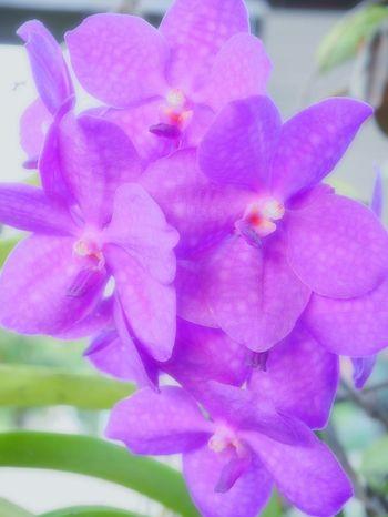 🌺🌸🍀🌾กล้วยไม้ที่บ้าน Orchid Flower Freshness Fragility Close-up Nature Purple Plant Beauty In Nature Flower Head No People Petal Iris - Plant Day Outdoors Springtime EyeEm EyeEm Nature Lover EyeEm Gallery