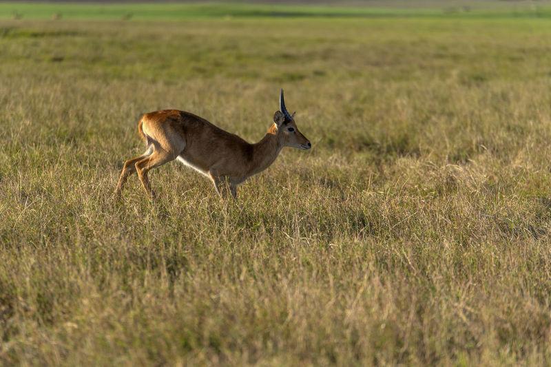 Side view of deer running on field
