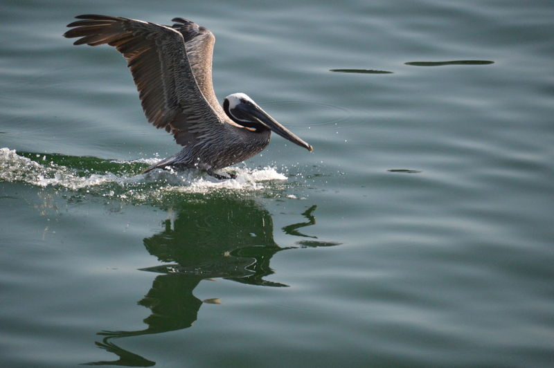 View of pelican over rippled water