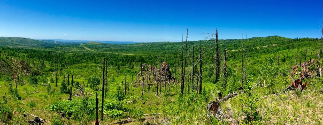 forest after fire Forest Green Nature Landscape EyeEm Nature Lover Walking Around Sakhalin