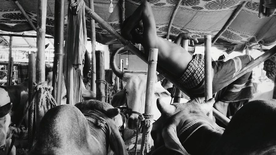 The sleeping cow seller Hanging Out Taking Photos Eiduladha Bangladesh Gabtoli Dhaka Cows Market Fahimz7