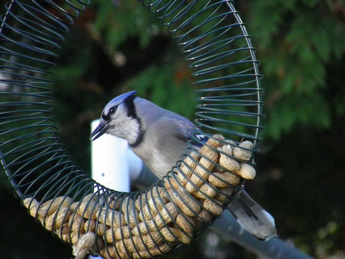 Blue jay bird feeder peanuts focus on the foreground Animal Themes One Animal Bird Outdoors No People