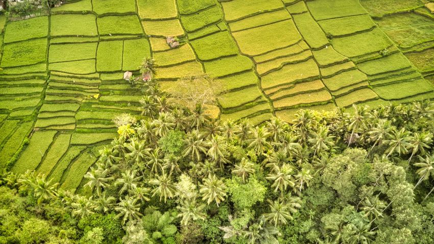 Rice Field in Bali Ubud, Bali Ubud Bali Green Color Plant Growth Landscape Land Nature High Angle View Beauty In Nature Outdoors Agriculture Rural Scene Farm Crop  Field Day Plantation No People