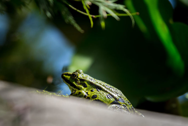 Green frog in Tettnang Amphibian Animal Themes Animals In The Wild Close-up Detail Freshness Frog Green Green Frog Grüner Frosch Nature No People One Animal Plant Pond Selective Focus Teich Water Wildlife