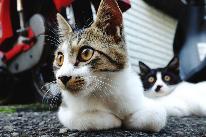 Animal Animal Themes Cute Portrait Feline No People Close-up Cats Cat Lovers Cats Of EyeEm Catslife Day Outdoors Street Mammal Japan Fujifilm_xseries FujiX70 Voigtlander28mm Voigtländer