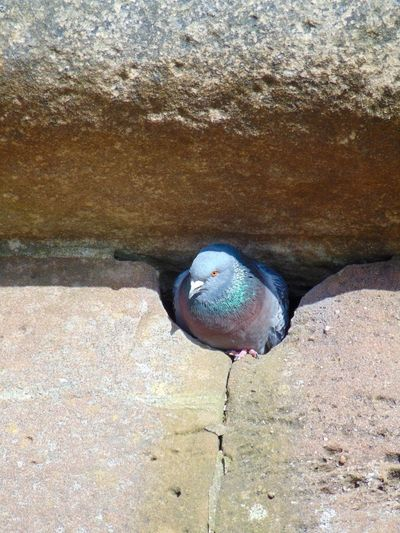 Bird Close-up Day Hole In The Wall Nature Nesting Nesting Birds Nesting Place No People Outdoors Pigeon Pigeons Rock - Object Wildlife