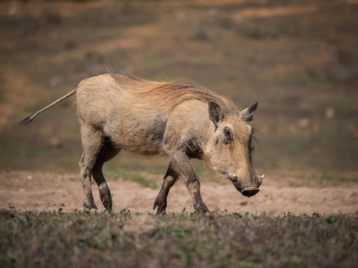 Close-up of warthog walking in addo elephant national park, south africa