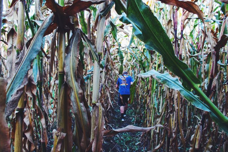 running through corn... no not a maze just a corn field 🌽 Cornfield Green Exploring Farm Life Running Run Head Down EyeEm Best Shots EyeEm Nature Lover Eye4photography  EyeEm Best Edits EyeEm Gallery EyeEmBestPics EyeEm Best Shots - Nature