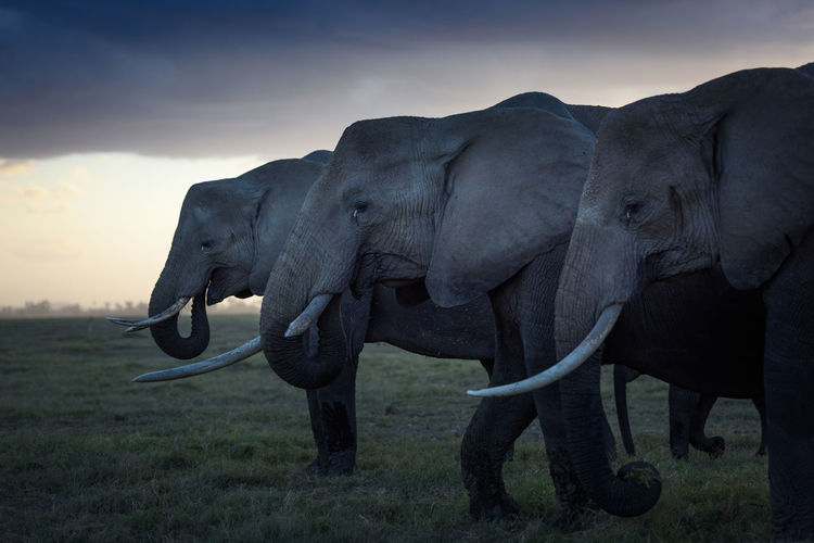 Side view of elephants on field at sunset
