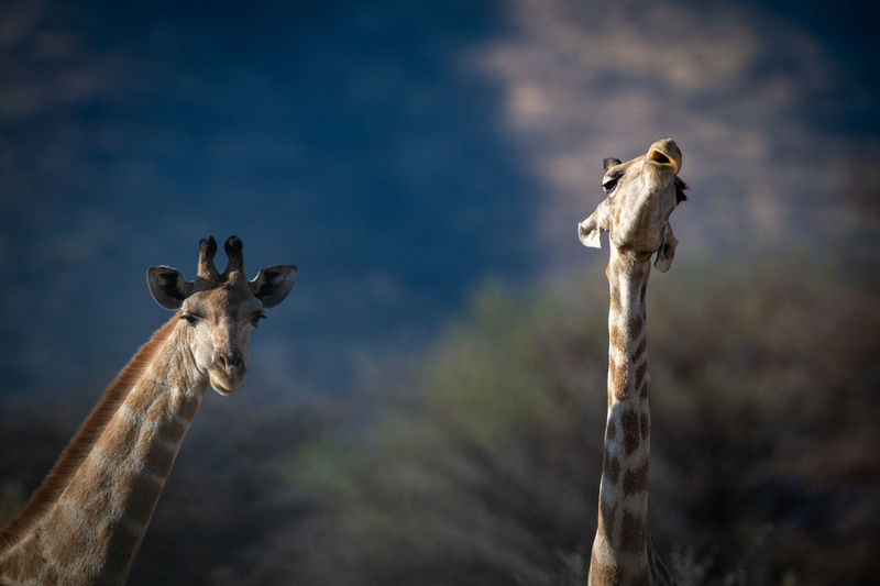 Close-up of necks of two southern giraffes