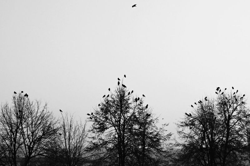 Misty & gloomy day. II Animals In The Wild Bird Black And White Blackandwhite Branches Branches And Leaves Branches And Sky Clear Sky Cold Days Crows Day Flying Foggy Gloomy Low Angle View Misty Nature No People Non-urban Scene Outdoors Sky Tree Winter Wintertime Wintertrees
