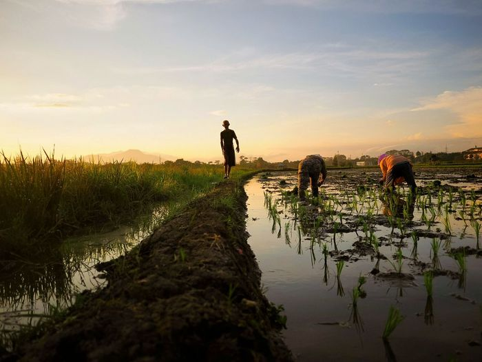 Work in the Paddy Field in The Morning Men Farmer Rural Scene Togetherness Dog Water Sunset Agriculture Rice Paddy Pets