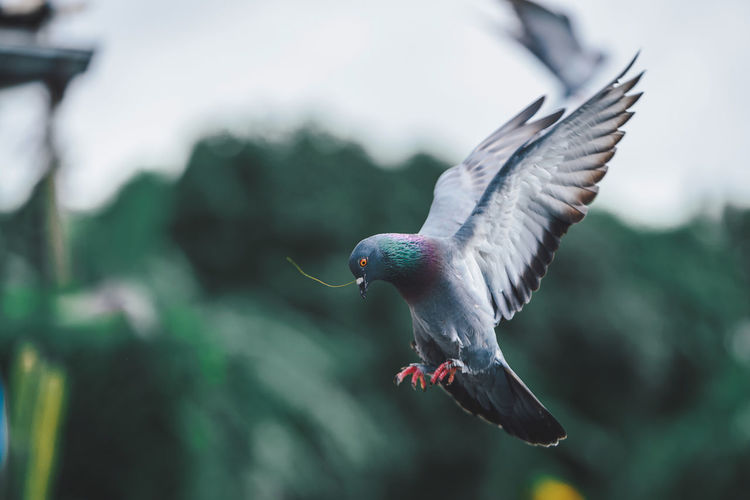 Close-up of pigeon flying outdoors