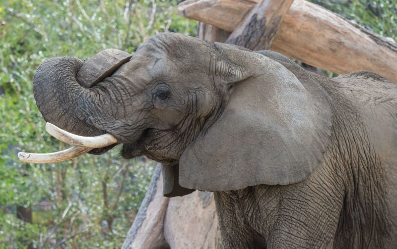 Aug 2018 - My nose itches Animal Animal Body Part Animal Head  Animal Themes Animal Trunk Animal Wildlife Close-up Day Elephant Focus On Foreground Herbivorous Mammal Nature No People One Animal Outdoors Tree Tusk Vertebrate Zoo