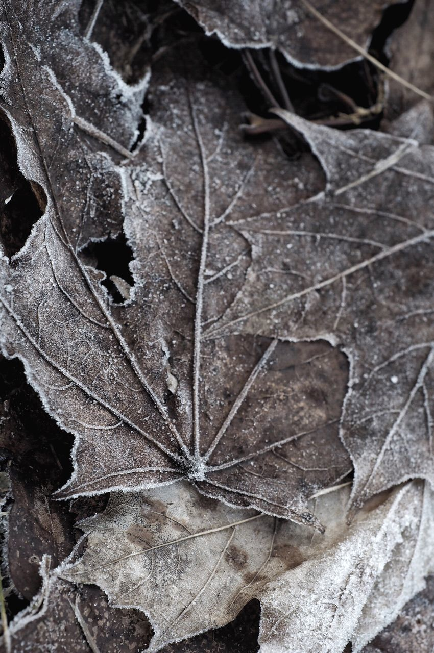 leaf, autumn, dry, close-up, fragility, nature, change, day, winter, no people, dried plant, maple leaf, outdoors, maple, cold temperature, beauty in nature