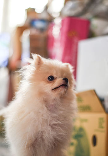 Light brown Pomeranian puppy looking to the top right with soft focus background Domestic Animals Domestic Pets Mammal One Animal Animal Animal Themes Canine Dog Focus On Foreground Looking Indoors  Vertebrate Home Interior Close-up Looking Away Hair Cute Small Pomeranian Pomeranian Puppy Doggy Standing Brown Fluffy Light Adorable