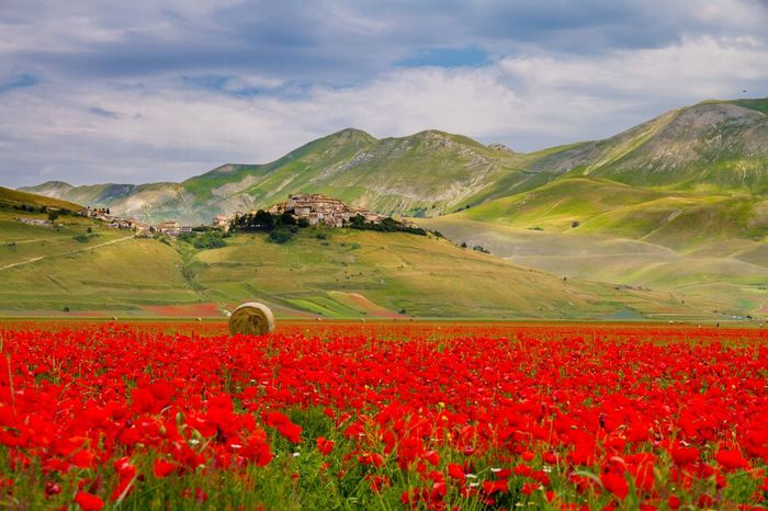 Flower Beauty In Nature Agriculture Mountain Scenics Flowerbed Landscape Castellucciodinorcia Flowers Blooming