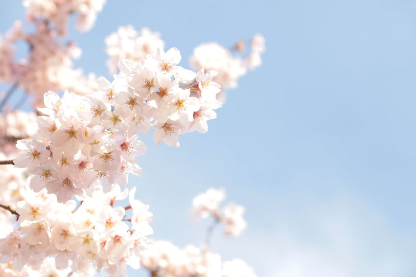 Japanese cherry blossom tree full blooming Beauty In Nature Bloom Blooming Blossom Botany Branch Cherry Cherry Blossoms Day Flower Fragility Freshness Growth Japan Japanese  Nature Petal Springtime Tree White Color