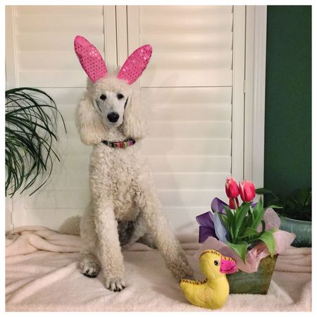 I could not resist LOL..... Easter Standard Poodle Dog Pets Animals Open Edit Cute Pets I Love My Dog Beautiful Colors OpenEdit