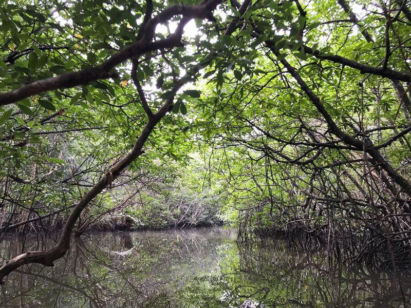 Tree Nature Forest Beauty In Nature Tranquility Outdoors Day Branch Water No People Green Color Growth Scenics Tranquil Scene Swarm Mangrove Mangrove Forest Mangrove Swamp Mangrove Tour Lost In The Landscape