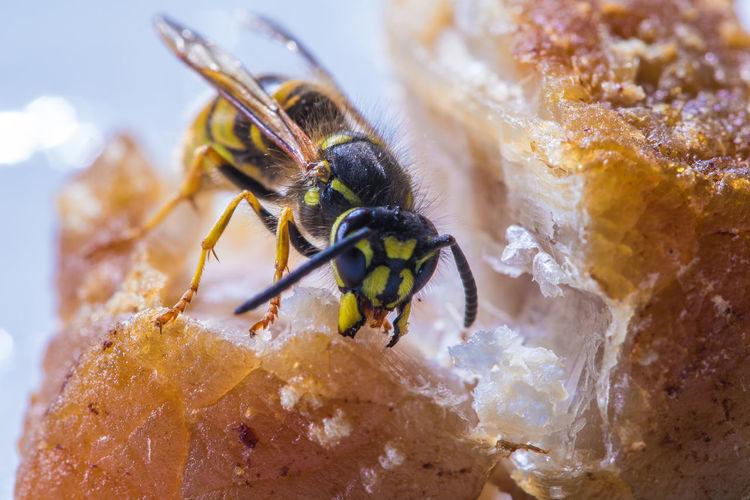 Close-up of wasp eating food