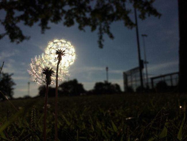 Fine & dandy. Dandelions Sunset